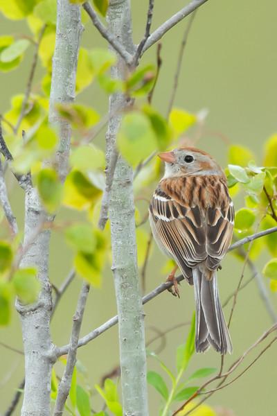 Field Sparrow - Mt. Pleasant, MI, USA