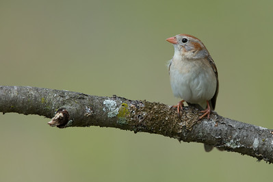 Field Sparrow - Mt. Pleasant, MI, USA
