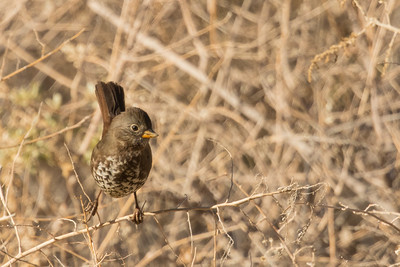 Fox Sparrow - Record - Panoche, CA, USA