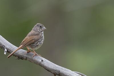 Fox Sparrow - Plumas County, CA, USA