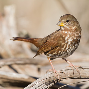 Fox Sparrow - Cascade Ranch, Pescadero, CA, USA
