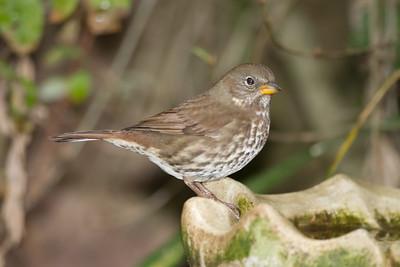Fox Sparrow - Coyote Hills Regional Park, Fremont, CA, USA