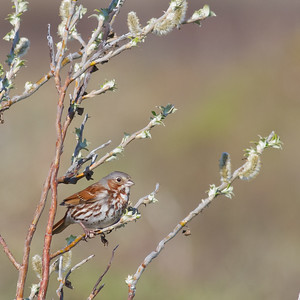 Fox Sparrow - Nome, AK, USA