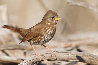 Fox Sparrow - Cascade Ranch, Pescadero, CA, USA