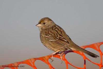 Golden-crowned Sparrow - Juvenile; Alviso, CA