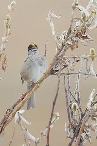 Golden-crowned Sparrow - Nome, AK, USA