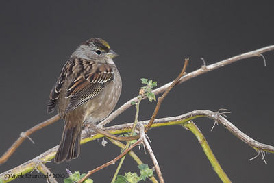 Golden-crowned Sparrow at Coyote Hills, Fremont, CA