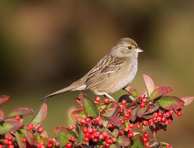 Golden-Crowned Sparrow - Shoreline Park, Mt. View, CA, USA