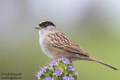 Golden-crowned Sparrow - Milpitas, CA, USA