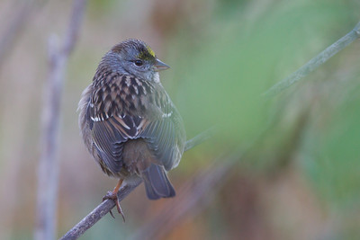 Golden-crowned Sparrow - San Mateo County, CA, USA