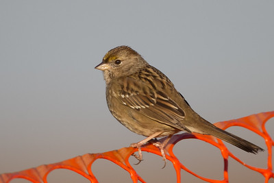 Golden-crowned Sparrow - Juvenile -  Alviso, CA, USA