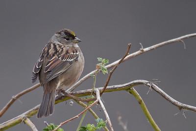 Golden Crowned Sparrow - Coyote Hills Regional Park, Fremont, CA, USA