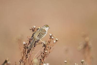 Golden-Crowned Sparrow - Palo Alto Baylands, Palo Alto, CA, USA