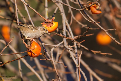Golden-crowned Sparrow - Record - Cupertino, CA, USA