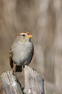 Golden-crowned Sparrow - Cascade Ranch, San Mateo County, CA, USA