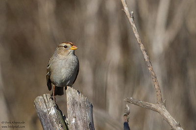 Golden-crowned Sparrow - Pescadero, CA, USA