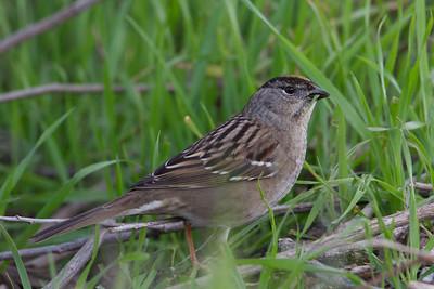 Golden-Crowned Sparrow - Alviso, CA, USA