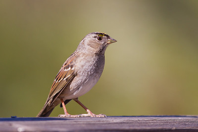 Golden-crowned Sparrow - Mines Road, CA, USA