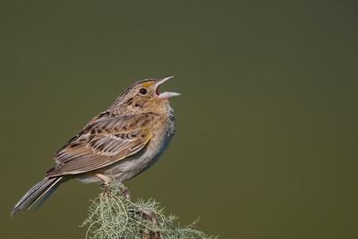Anna's Hummingbird - Pt. Richmond, CA, USA