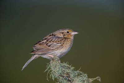 Grasshopper Sparrow - Montebello OSP, CA, USA