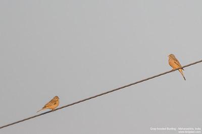 Gray-hooded Bunting - Maharashtra, India