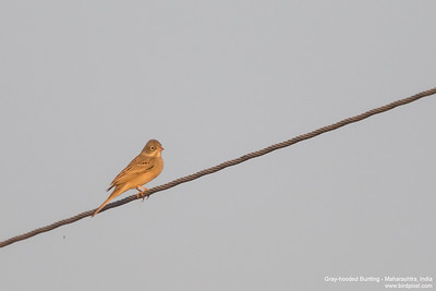 Gray-hooded Bunting - Maharashtra, India