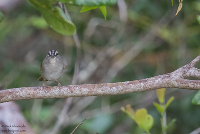 Green-backed Sparrow - Record - Crooked Tree, Belize