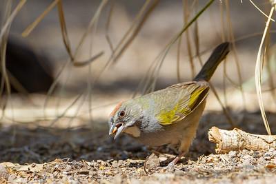 Green-tailed Towhee - Sierra Vista, AZ, USA