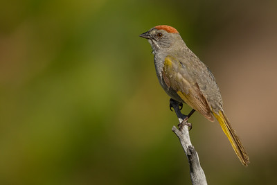 Green-tailed Towhee - OR, USA