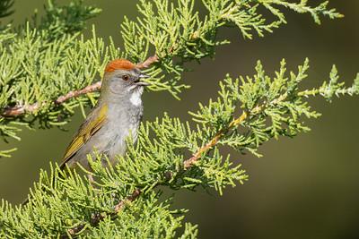 Green-tailed Towhee - Sierra County, CA, USA