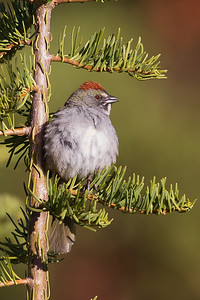 Green-tailed Towhee - Wuksachi Lodge, Sequoia National Park, CA, USA