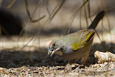 Green-tailed Towhee - San Pedro House, Sierra Vista, AZ, USA
