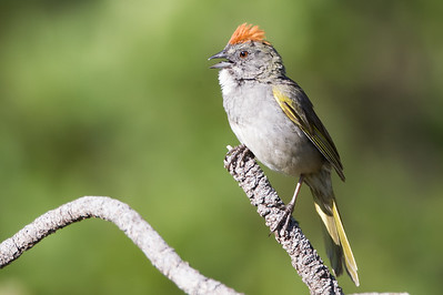 Green-tailed Towhee - Sardine Lake, Sierra Valley, CA, USA