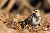 Harris's Sparrow - Cascade Ranch, Pescadero, CA, USA