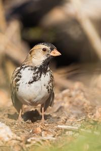 Harris's Sparrow - Cascade Ranch, Pescadero, CA, USA