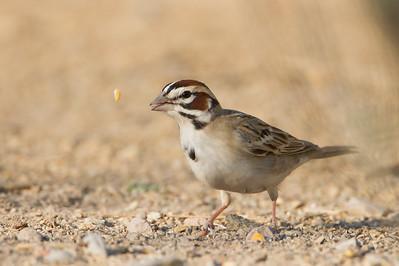 Lark Sparrow - San Pedro House, Sierra Vista, AZ, USA