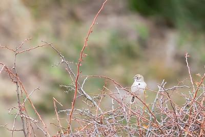 Lark Sparrow - Fremont, CA, USA