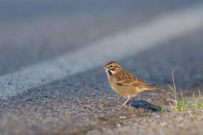 Lark Sparrow - Mines Road, CA, USA