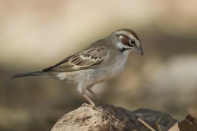 Lark Sparrow - Ash Canyon B&B, Hereford, AZ, USA