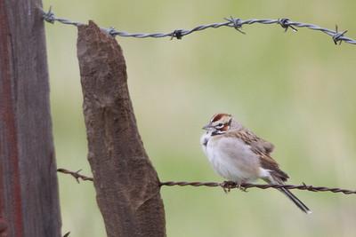 Lark Sparrow - Panoche Valley, CA, USA