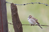 Lark Sparrow - Panoche Valley, CA, USA