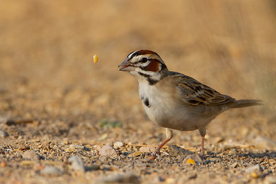 Lark Sparrow - Sierra Vista, AZ, USA