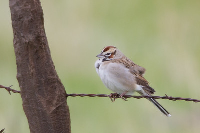 Lark Sparrow - Lifer - Panoche Valley, CA, USA