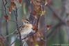 Le Conte's Sparrow - Near Mio, MI, USA