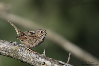 Lincoln's Sparrow - Upper Peninsula, MI, USA