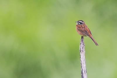 Meadow Bunting - Yamanishi Prefecture, Japan