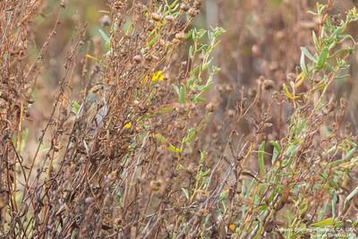 Nelson's Sparrow - Oakland, CA, USA