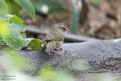 Olive Sparrow - Brownsville, TX, USA