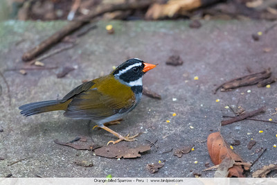 Orange-billed Sparrow - Peru