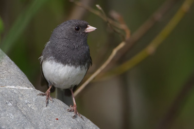 Dark-eyed (Slate-colored) Junco - Anchorage, AK, USA